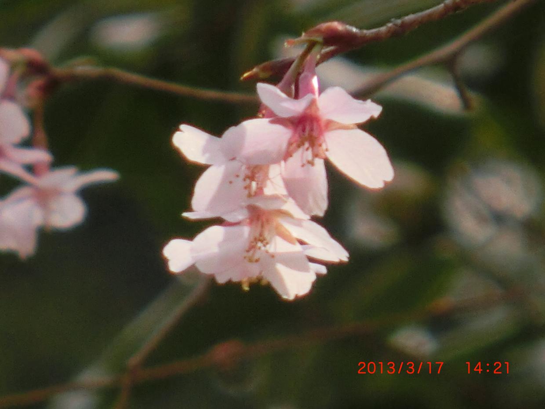 キンキマメザクラの花3