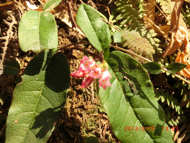 イワナシの花1