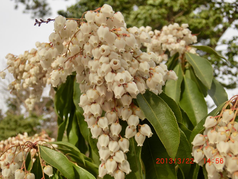 アセビ白花