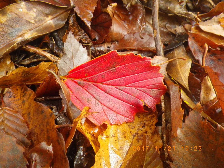 ハンノキの紅葉
