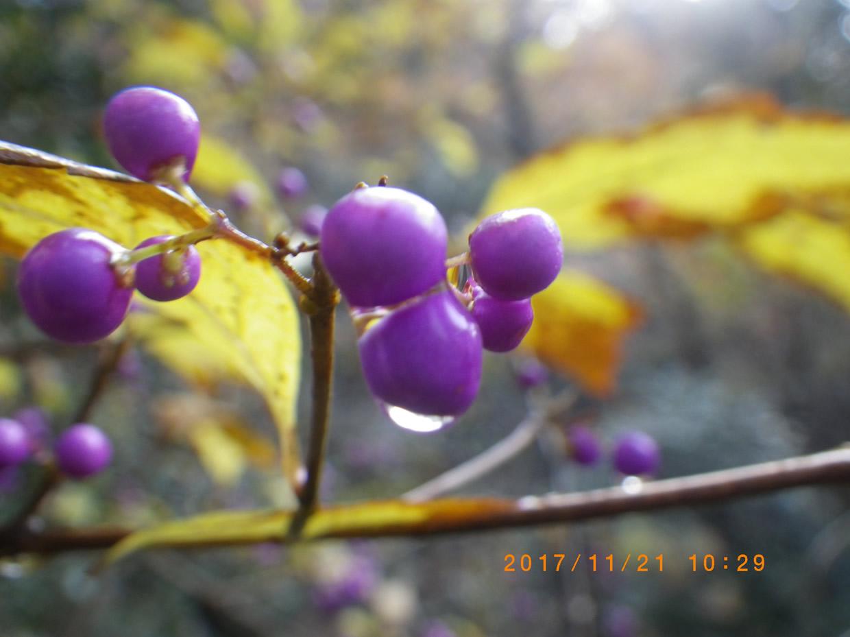ムラサキシキブの実雨の雫
