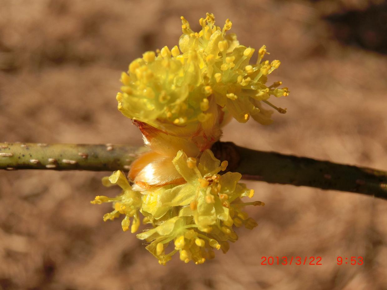 アブラチャンの花3