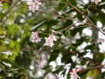 キンキマメザクラの花