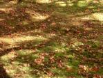 モミジの秋